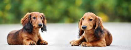 Long haired dachshund puppies posing outdoors. Adorable long haired dachshund puppies outdoors stock images