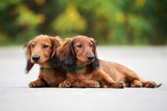 Long haired dachshund puppies posing outdoors. Adorable long haired dachshund puppies outdoors stock photo