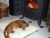 Long Haired Dachshund puppy. Adorable twelve week old red Long Haired Dachshund or Sausage Dog puppy snuggles in front of a wood burning stove in his new home Royalty Free Stock Photography