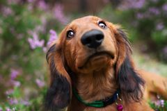 Long haired dachshund puppy portrait close up. Adorable long haired dachshund puppy outdoors royalty free stock image