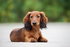 Long haired dachshund puppy posing outdoors. Adorable long haired dachshund puppy outdoors stock photo