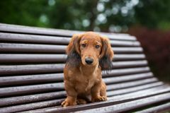 Long haired dachshund puppy posing outdoors. Adorable long haired dachshund puppy outdoors royalty free stock photos