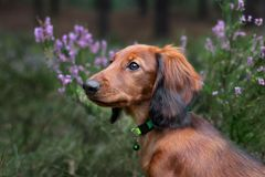 Long haired dachshund puppy posing outdoors in heather flowers. Adorable long haired dachshund puppy outdoors stock photos