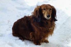 Long haired dachshund in the snow. Long haired dachshund Romans, Chisinau, Moldova stock photos