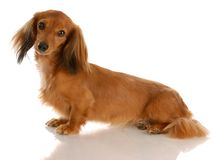 Long haired dachshund sitting. Miniature long haired dachshund sitting with reflection on white background stock photos
