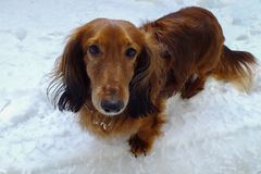 Long haired dachshund in the snow. Long haired dachshund Romans, Chisinau, Moldova royalty free stock photo