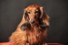 Long-haired dachshund Royalty Free Stock Images