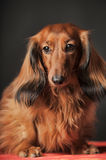 Long-haired dachshund. In studio stock images
