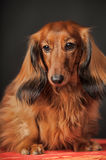 Long-haired dachshund. In studio royalty free stock photography