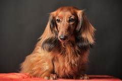 Long-haired dachshund Stock Photo