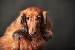 Long-haired dachshund. In studio royalty free stock image