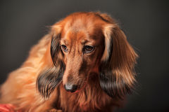 Long-haired dachshund. In studio royalty free stock images