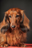 Long-haired dachshund Stock Photo