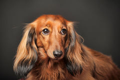 Long-haired dachshund. In studio royalty free stock photos
