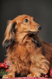 Long-haired dachshund. In studio stock photos