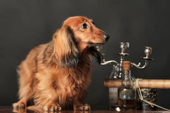 Long-haired dachshund. In studio stock photography