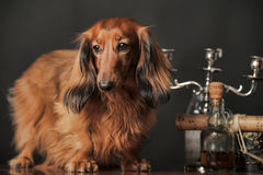 Long-haired dachshund. In studio stock photo