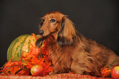 Long-haired dachshund in the studio. Taco a long-haired dachshund in the studio royalty free stock images
