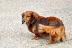 Long Haired Dachshund. This was a very loving and friendly dog royalty free stock images
