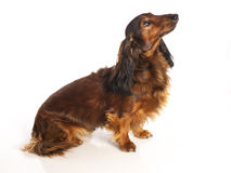 Long haired dachshund. On a white background stock photos