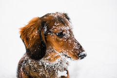 Long Haired Dachshund Winter Portrait. Close up portrait of red long haired dachshund in snow royalty free stock photo