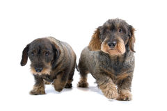 Long haired Dachshunds Royalty Free Stock Photo