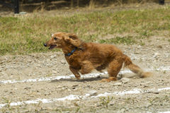 Long haired Dachsund in race. Royalty Free Stock Photo