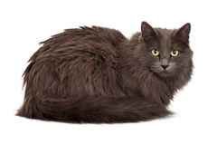 Long haired dark gray cat laying looking at camera Stock Photo