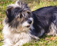 Long-haired dog Royalty Free Stock Images
