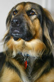 Long haired dog. Portrait of cute long haired dog indoors Stock Images