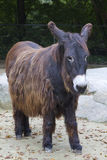 Long haired donkey  Royalty Free Stock Images