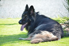 Long haired German Shepard dog Stock Images