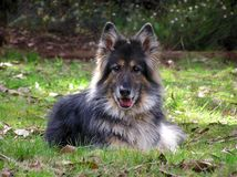 Long haired german shepherd Stock Photography