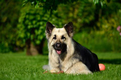 Long haired German Shepherd dog lying with ball Royalty Free Stock Images