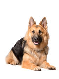 Long haired german shepherd dog Stock Photo