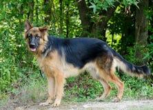 Long-haired German Shepherd Dog. Outdoor animal shelter adoption photo stock photos