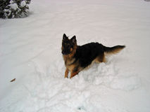 Long Haired German Shepherd Dog in Snow Royalty Free Stock Photography