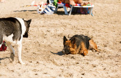 Long haired german shepherd playing on the beach Royalty Free Stock Photography