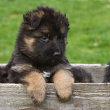 Long haired German shepherd puppy. In box Stock Photo