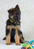 Long haired German Shepherd puppy . German Shepherd puppy long haired 2 months old with toy Royalty Free Stock Image