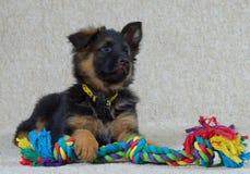Long haired German Shepherd puppy . German Shepherd puppy long haired 2 months old with toy Stock Photos