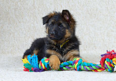 Long haired German Shepherd puppy . Long haired German Shepherd puppy 2 months old with toy Royalty Free Stock Photo