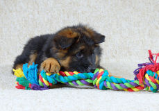 Long haired German Shepherd puppy . Long haired German Shepherd puppy with toy Stock Photo