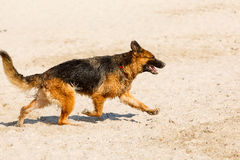 Long haired german shepherd running on the beach Royalty Free Stock Photo