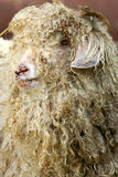 Long Haired Goat Royalty Free Stock Images