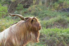 Long haired goat in La Gomera Stock Images