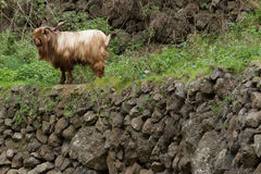 Long haired goat in La Gomera Royalty Free Stock Photography