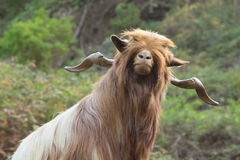 Long haired goat in La Gomera Stock Image