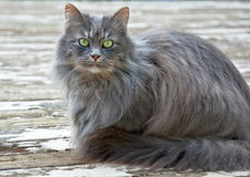 Long Haired Gray Cat Stock Images