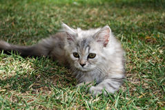 Long Haired Grey Kitten Stock Image